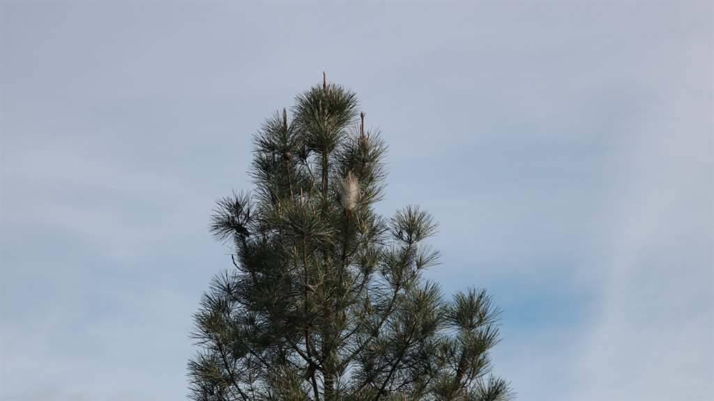 Nido de procesionaria en los pinos